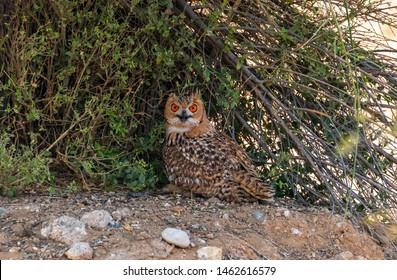 Pharaoh eagle-owl sitting near the desert tree, abudhabi, uae