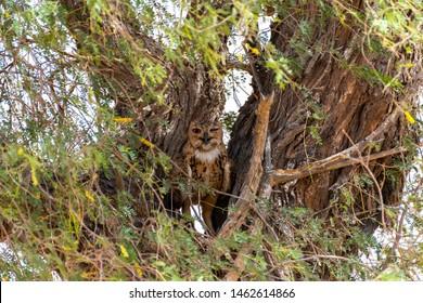 Pharaoh eagle-owl sitting on the branches, abudhabi, uae