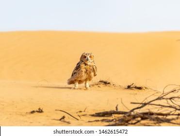 Pharaoh eagle-owl sitting on the sand, abudhabi, uae