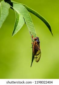 A pharaoh locust clings to a leaf, West Des Moines, Iowa