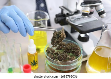 Pharmacist conducts experiment with dried hemp. Promotion and creation cannabis-based medicines. Cannabis study process. Crops and drugs related to therapeutic or medicinal methods