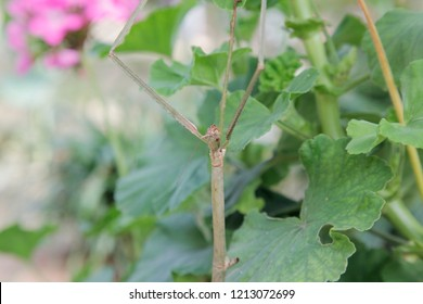 Phasmids stick insect camouflage with plants