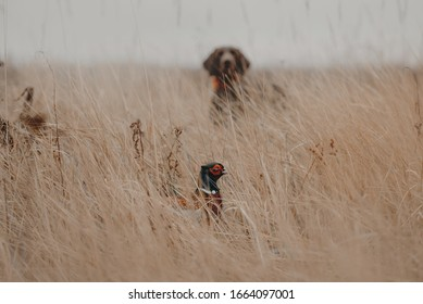 pheasant bird hiding in the grass with a hunting dog visible in the background