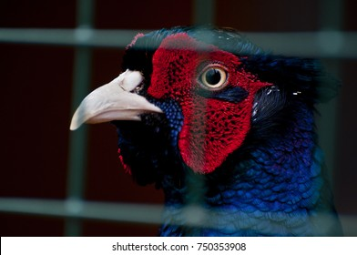 Pheasant in a Cage