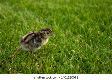pheasant chick in green grass. Agriculture