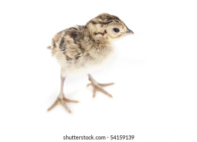 Pheasant chick isolated on white
