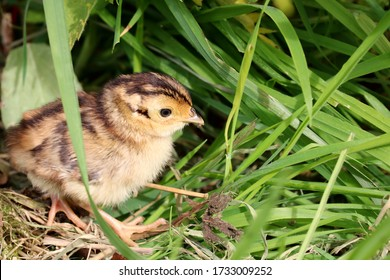 A Pheasant Chick with a small insect in its beak moving through the undergrowth. Scientific name Phasianus colchicus