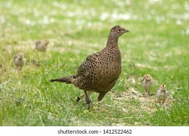 Pheasant with chicks on Schiermonnikoog, the Netherlands