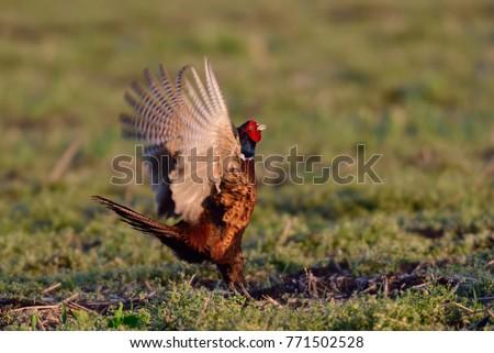 Cock on display