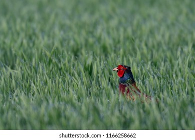 Pheasant cock look out of the grainfield, spring, germany, (phasianus colchicus)