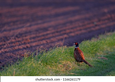 Pheasant cock standing on the field and look, spring, germany, (phasianus colchicus)