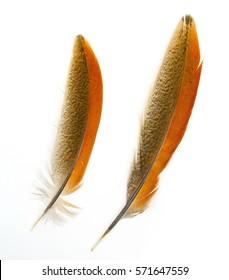 Pheasant feather.