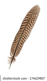 Pheasant feather isolated on white