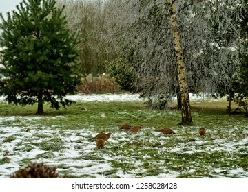 Pheasant females looking for food in grass under snow in back yard. Birch and pine trees in background..