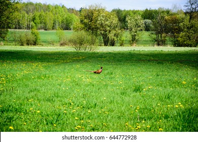 Pheasant in the field