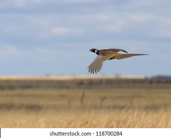 Pheasant flying over the prairie