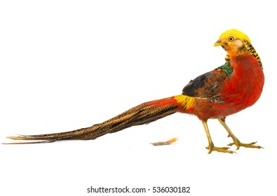 pheasant gold is isolated on a white background