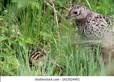 pheasant hen with her sweet chick