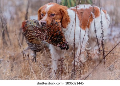pheasant hunting with epagneul breton
