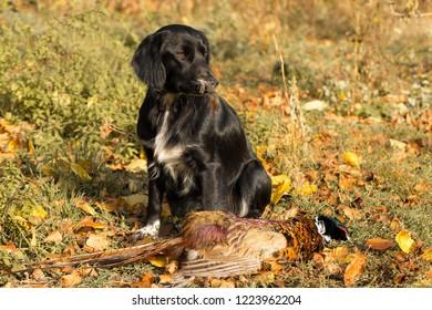 Pheasant hunting gog spaniel