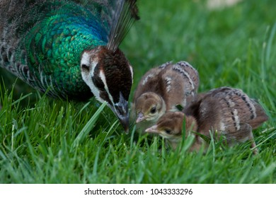 Pheasant mom and chicken Cute easter picture green grass