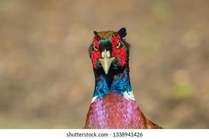 Pheasant, (Scientific name: Phasianus colchicus) male or cock bird. Ring-necked pheasant with angry face and colourful plumage.  Close up of head and shoulders.  Blurred background. Horizontal