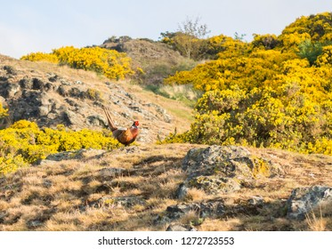 A pheasant stands in front of gorse bushes on Arthur's Seat, Edinburgh, in the early morning sunshine. Rocks poke through grass in the foreground