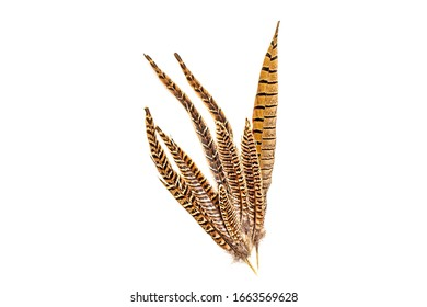 Pheasant tail feather on a white background. Isolate