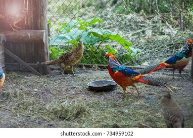 pheasants in the cage
