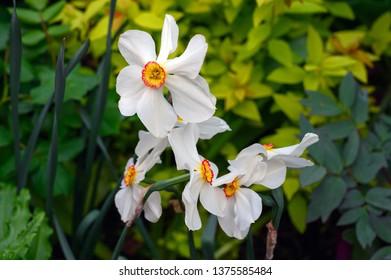 Pheasant's eye narcissus, Narcissus poeticus