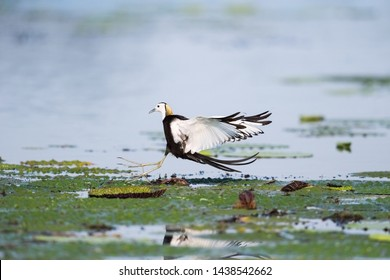 pheasant-tailed jacana,  beautiful the queen of water bird
