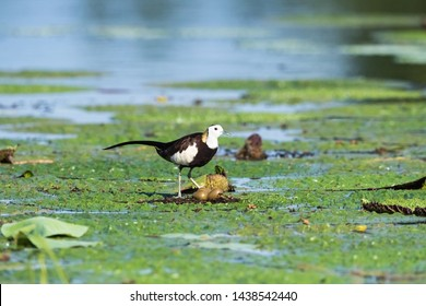 pheasant-tailed jacana on the floating leaf plant