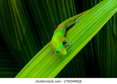 Phelsuma, or green day gecko in La Reunion