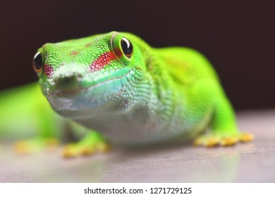 Phelsuma madagascariensis is a species of day Gecko that lives in Madagascar and Reunion. Close up with shallow depth of focus.