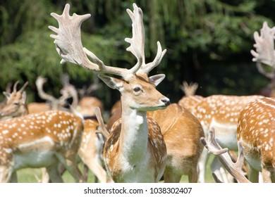 Pheonix Park Deer