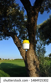 Pheromone traps for biological control of pests in olive trees