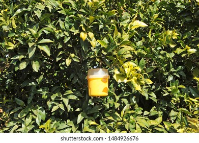 Pheromone traps for biological control of pests in orange trees