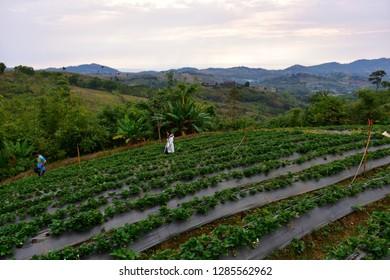 Phetchabun, Thailand - January 06, 2019: Strawberry Farm on the Mountain in KhaoKho, Phetchabun, Thailand.
