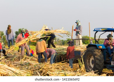 Phetchabun, Thailand - March 13th 2017: Farm workers harvesting sugar beet. Beet is one of the major crops.