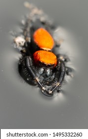 Phidippus apacheanus jumping spider floating on top of water, with his legs extended for better flotation