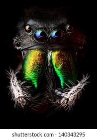 Phidippus audax jumping spider head closeup