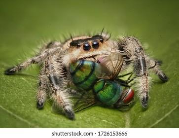 phidippus regius female, Jumping spider eating green flies, above the leaves.