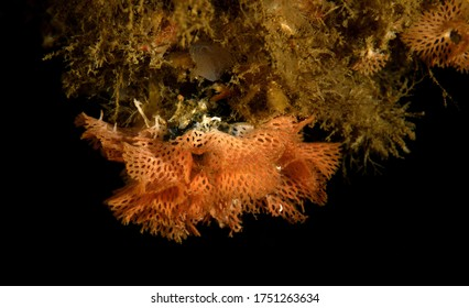 Phidolopora pacifica, Lacy bryozoan on a Palos Verdes reef