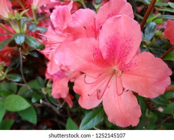 Philadelphia, Pennsylvania - May 24, 2018: Coral colored rhododendron