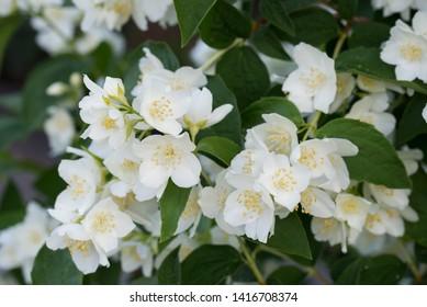 Philadelphus coronarius (sweet mock-orange, English dogwood) white spring flowers