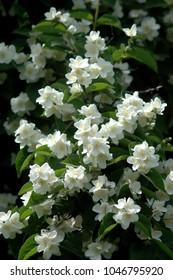 Philadelphus in summer, white blossoms
