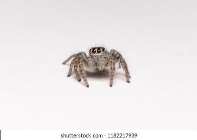 Philaeus chrysops  - macro photo of jumping spider isolated on white