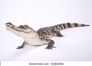 Philippine crocodile,Crocodylus mindorensis