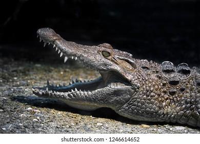 Philippine crocodile's head. Latin name - Crocodylus mindorensis