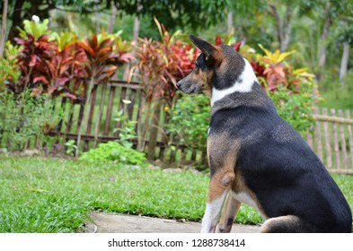 Philippine dog (askal) in a farm in Mindanao